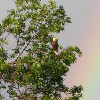 WASHINGTON, USA:  In Fond Remembrance: The Rainbow and the Bald Eagles