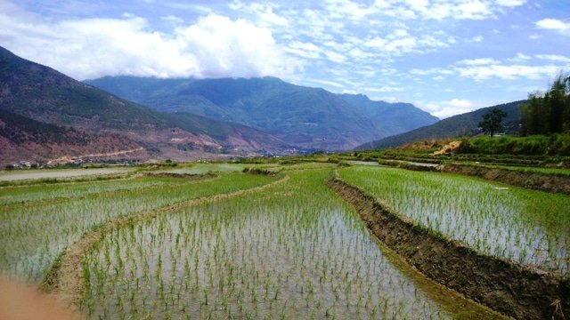 Rice fields in the Phobjika Valley