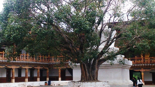 A Tree Inside the Punakha Dzong