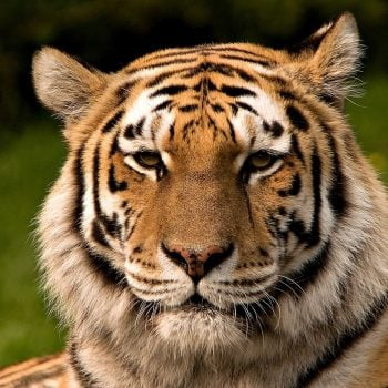 World Voice: Where Humans Dare @Global_TigerDay #globaltigerday