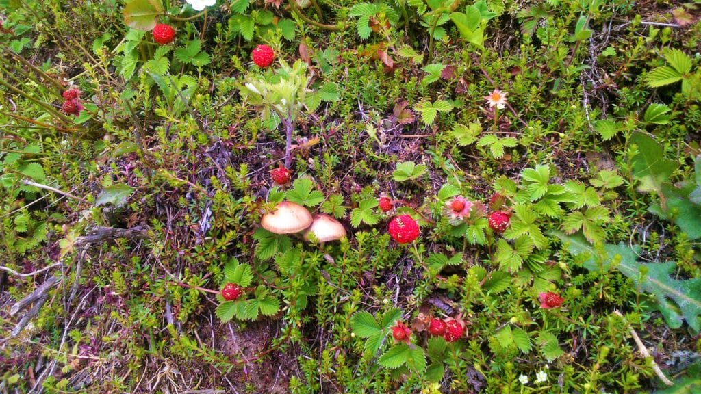 Wild strawberries and mushrooms